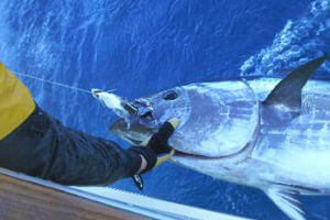 Winter is often the best time to target giant bluefin tuna off Cape Hatteras and the Outer Banks of NC.