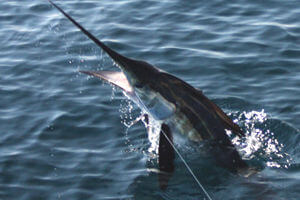 Another frisky Cape Hatteras marlin makes a wild jump during an August fishing charter.