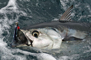 Drop jigging for yellowfin tuna and blackfin tuna is a favorite fish catching method of Big Tahuna off Hatteras.