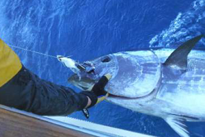 Winter is a great time to target giant bluefin tuna off Cape Hatteras.
