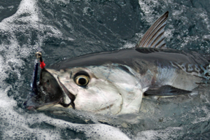 Drop jigging for yellowfin and blackfin tuna is a favirite method of Big Tahuna off Hatteras.